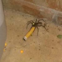 Araignées sous addictifs